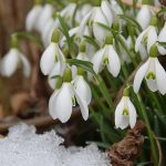 Snowdrops – a beautiful sight
