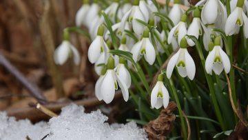 Snowdrops – a beautiful sight